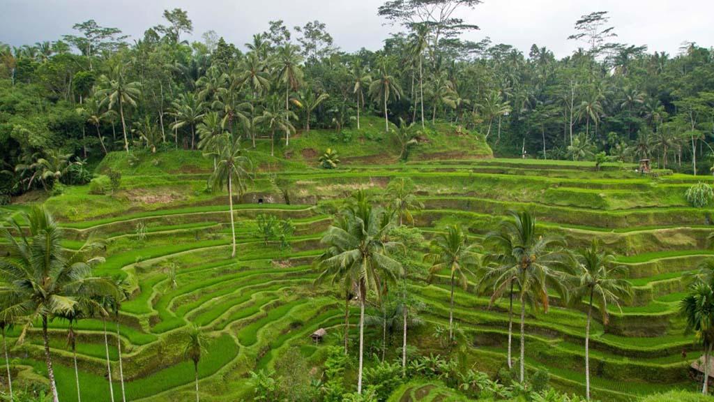 Bali-Ubud-Reisterrassen